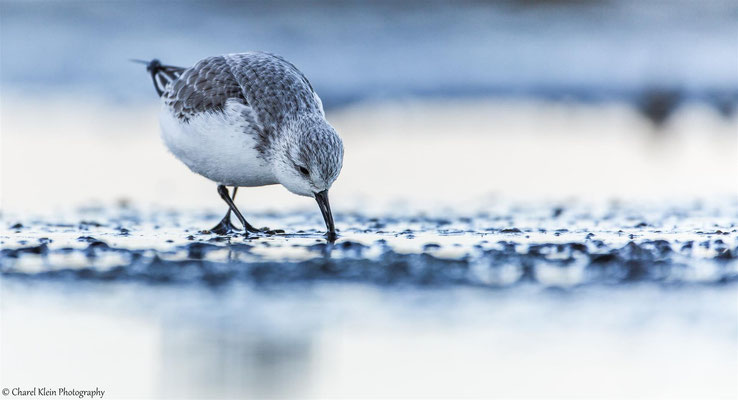 Sanderling    (Calidris alba)   --   Zeeland / Netherlands -- December 2014