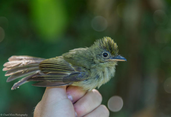 Olivaceous Flatbill (Rhynchocyclus olivaceus) -- 2016