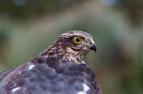 Eurasian Sparrowhawk juvenile male