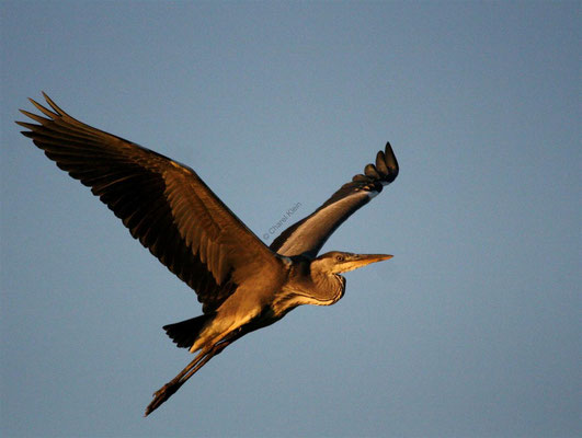 Grey Heron (Ardea cinerea) -- Camargue / France- Camargue / France