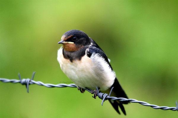 Barn Swallow       (Hirundo rustica) -- Luxembourg