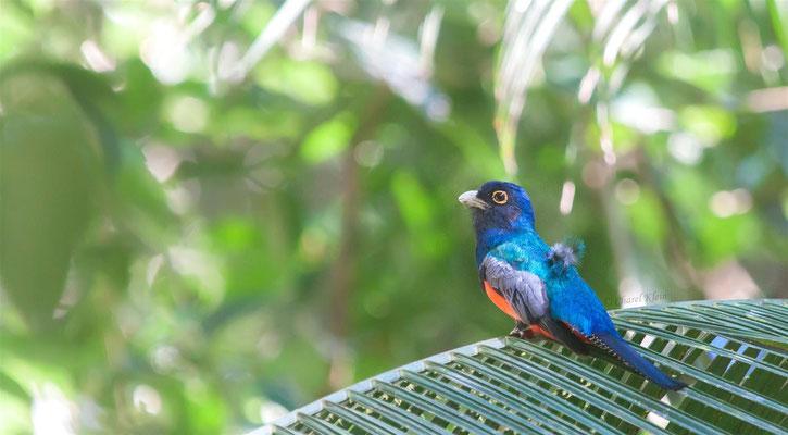 Blauscheiteltrogon     Blue-crowned Trogon (Trogon curucui) -- Peru / Centro De Rescate Taricaya
