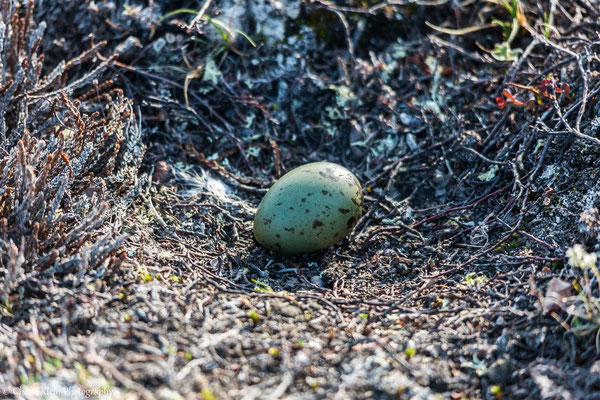 Long-tailed Skua egg