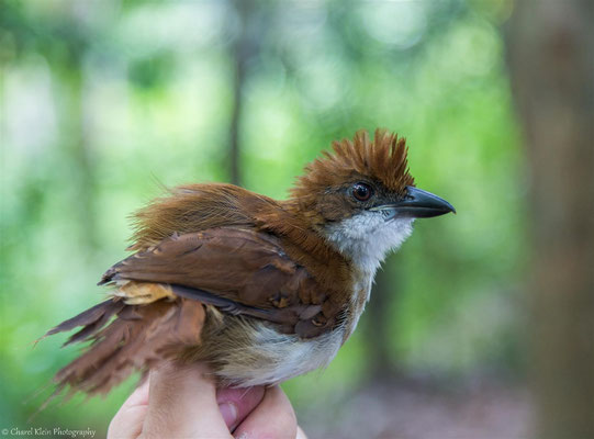 Great Antshrike - juv  (Taraba major) -- 2016