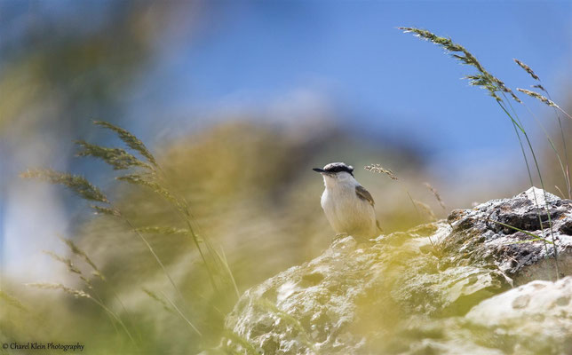 Eastern Rock Nuthatch    (Sitta tephronota)    --   Birdingtrip Turkey 2015