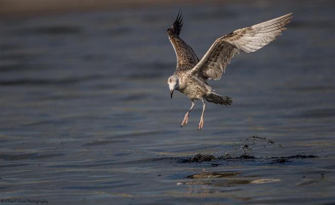 Herring Gull   (Larus argentatus)   --   Darss / Germany   --   September 2014