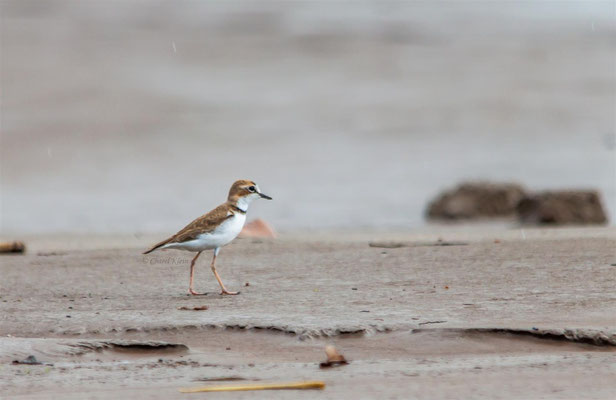 Collared Plover   (Charadrius collaris)  -- Peru / Centro De Rescate Taricaya -- July 2013