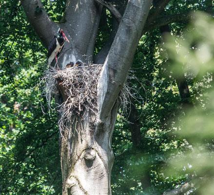 Schwarzstroch     Black stork    (Ciconia nigra)