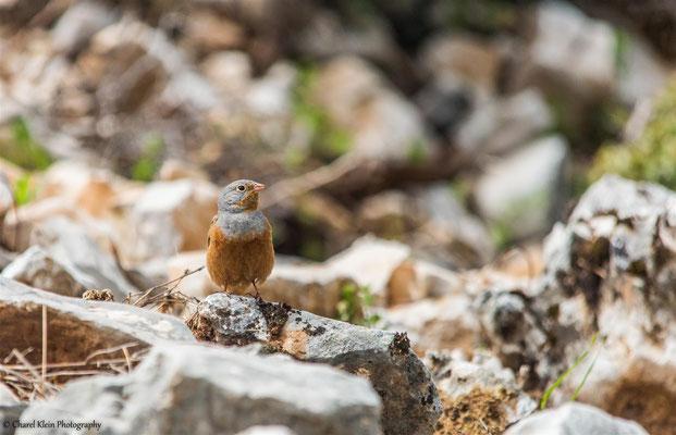 Grey-necked Bunting    (Emberiza buchanani)    -- Lake Van / Birdingtrip Turkey 2015