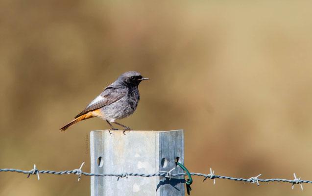 Black Redstart       (Phoenicurus ochruros)    --  Luxembourg