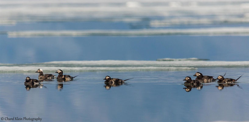 Long-tailed Duck   (Clangula hyemalis)   --   Trail / Karupelv Valley Project / Greenland  --  2015