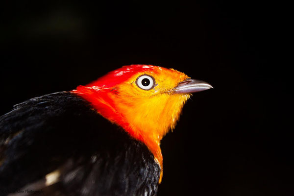 Band-tailed Manakin - ad. male (Pipra fasciicauda fasciicauda) -- 2013