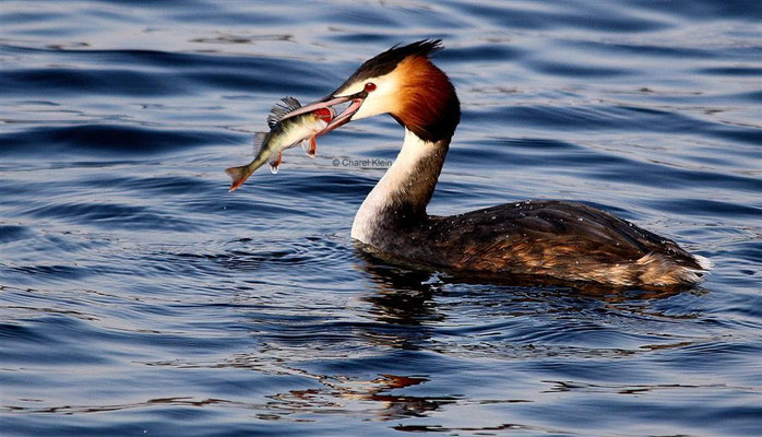 Great Crested Grebe (Podiceps cristatus) -- Luxembourg