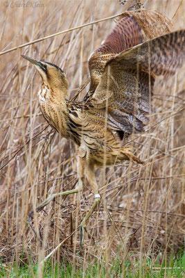 <Birdringing> Great Bittern (Botaurus stellaris) -- Luxembourg