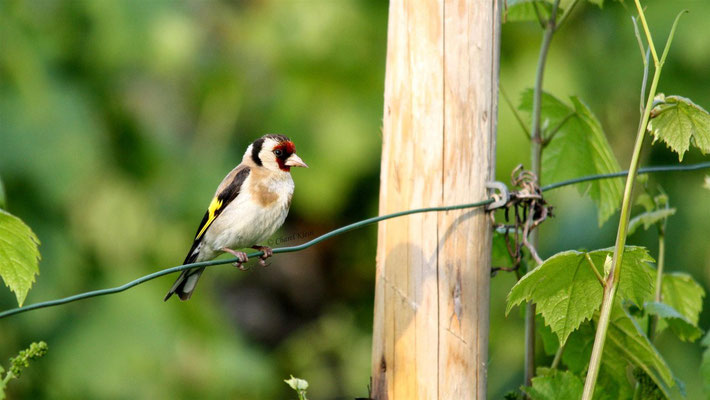 Goldfinch (Carduelis carduelis) -- Luxembourg