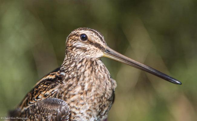 <Birdringing> - Common Snipe     (Gallinago gallinago) -- Luxembourg