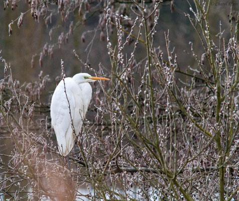 Great Egret (Casmerodius albus) -- Luxembourg