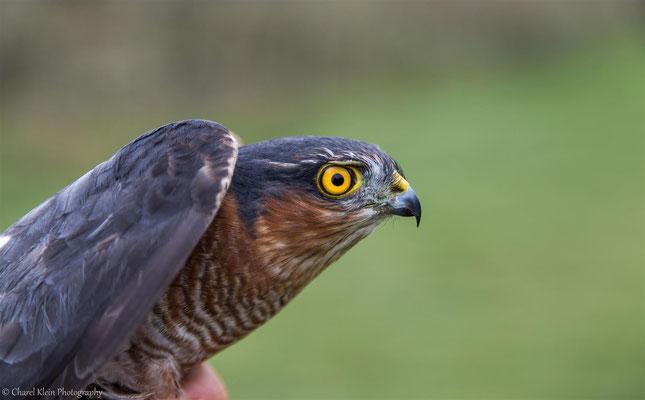 Eurasian Sparrowhawk adult male