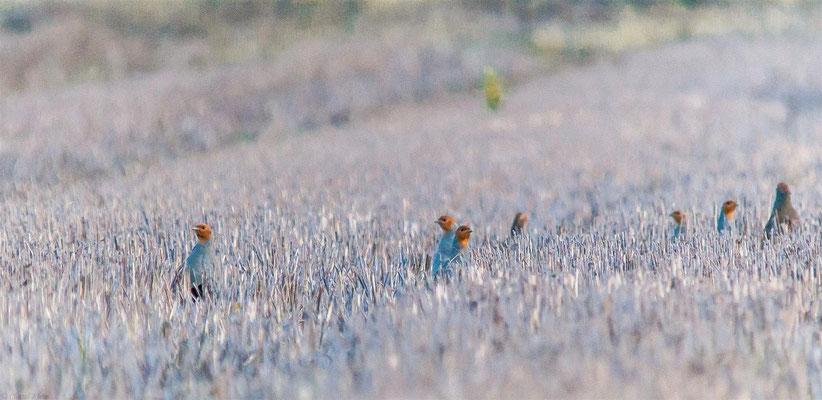 Grey Partridge (Perdix perdix) -- Luxembourg