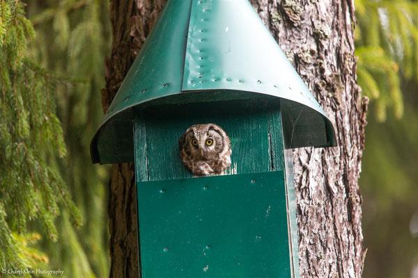 Tengmalm's owl house       (Aegolius funereus)   -- Germany