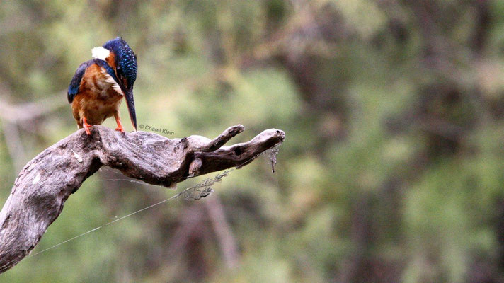Kingfisher ( Alcedo atthis) -- Camargue / France