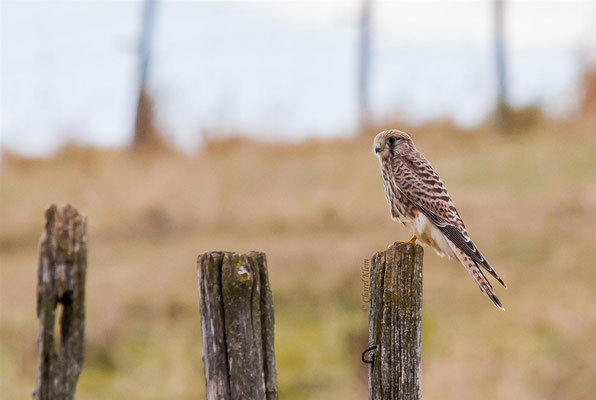 Common Kestrel (Falco tinnunculus) -- Luxembourg