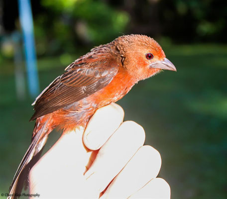 Silver-beaked Tanager -  female (Ramphocelus carbo) -- 2013
