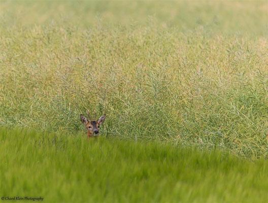 Roe deer  (Capreolus capreolus) --  Germany 2014