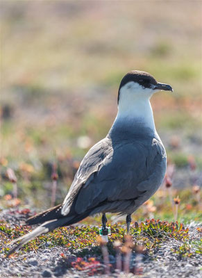 Long-tailed Skua   (Stercorarius longicaudus)   --   Trail / Karupelv Valley Project / Greenland    --   2015