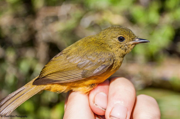 McConnell's Flycatcher (Mionectes macconnelli) -- 2016
