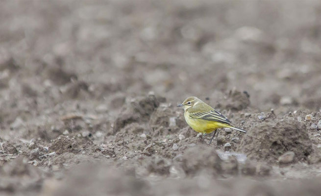 Western Yellow Wagtail      (Motacilla flava)    --  Luxembourg