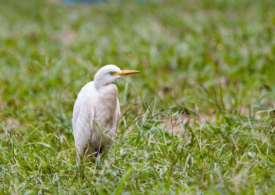 Kuhreiher   |     Cattle Egret   (Bubulcus ibis)   -- Peru / Centro De Rescate Taricaya