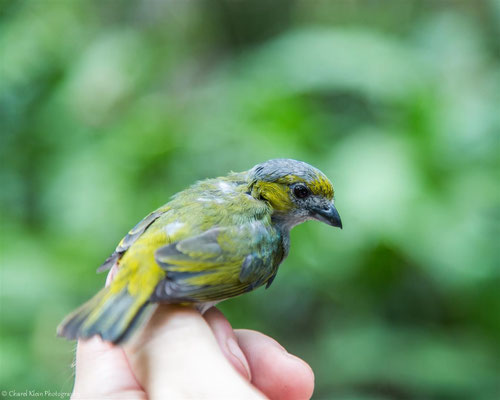 Golden-bellied Euphonia - female (Euphonia chrysopasta) -- 2016