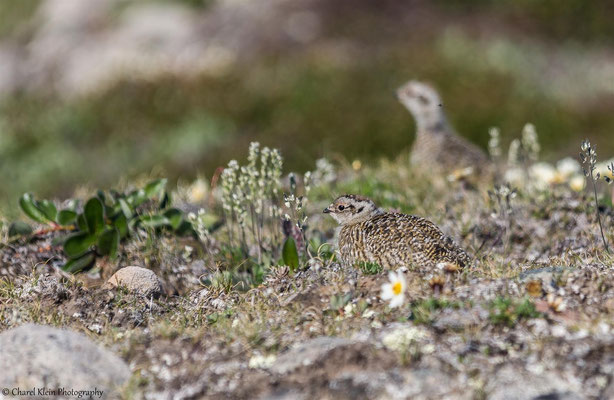 Rock Ptarmigan   (Lagopus muta)   -- Trail / Karupelv Valley Project / Greenland  --  2015