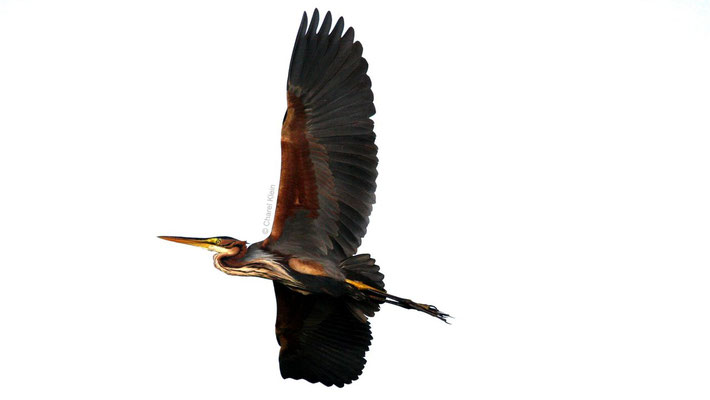 Purple Heron (Ardea purpurea) -- Camargue / France