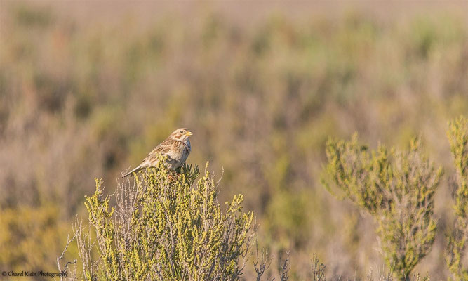 Corn Bunting    (Emberiza calandra)    --  Birdingtrip Turkey 2015