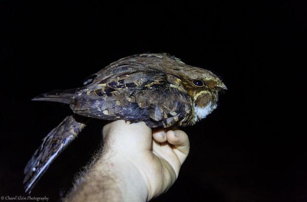 Common Pauraque (Nyctidromus albicollis) -- 2016