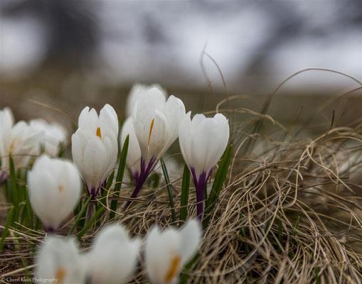 Spring crocus --  Schwarzsee / Switzerland 2016