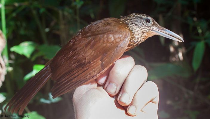 Buff-throated Woodcreeper (Xiphorhynchus guttatus)  --  2016