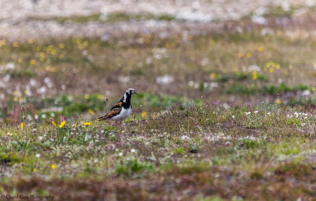 Ruddy Turnstone  (Arenaria interpres)   --   Trail / Karupelv Valley Project / Greenland     -- July 2015