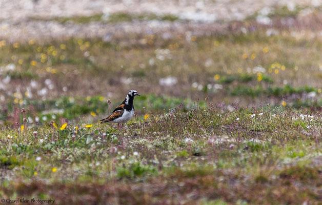 Ruddy Turnstone  (Arenaria interpres)   --   Trail / Karupelv Valley Project / Greenland     -- July 2015