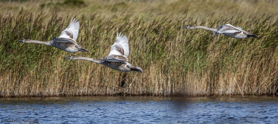 Mute Swan      (Cygnus olor) -- Darss / Germany -- September 2014