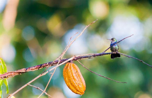 Sapphire-spangled Emerald     (Amazilia lactea)  -- Peru / Centro De Rescate Taricaya