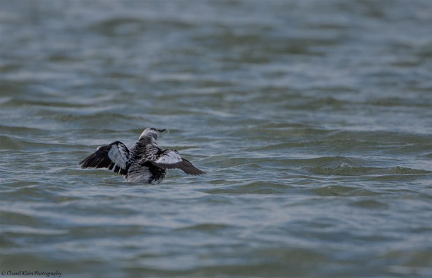 Black Guillemot (Ceppus grylle) -- Zeeland / Netherlands -- December 2014