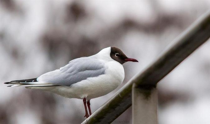 Lachmöwe  |  black-headed gull (Chroicocephalus ridibundus)
