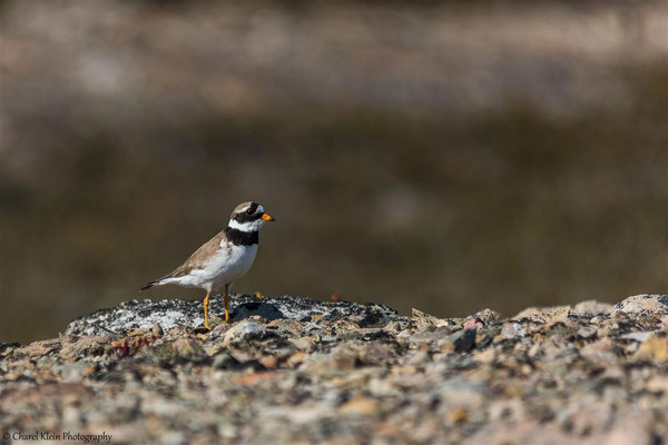 Ringed Plover (Eastern) (Charadrius hiaticula tundrae) -- Traill / Karupelv Valley Project / Greenland    -- July 2015
