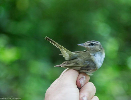 Red-eyed Vireo (Vireo olivaceus chivi) -- 2017