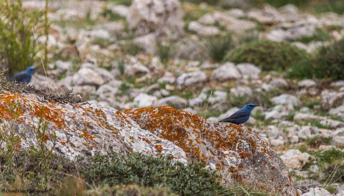 Blue Rock Thrush (Monticola solitarius) -- Birdingtrip Turkey 2015