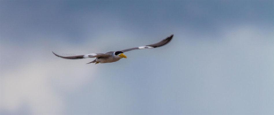 Large-billed Tern     (Phaetusa simplex) -- Peru / Centro De Rescate Taricaya -- July 2013