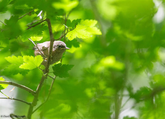 Eurasian Wren     (Troglodytes troglodytes)  -- Luxembourg